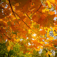 Abstract autumn nature background with maple trees