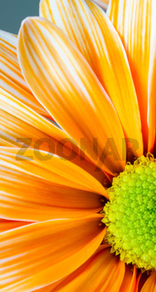 Dyed Daisy Flower White Orange Petals Green Carpels Close up