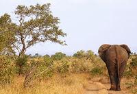african elephant walking on the street, SA