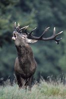 Roaring Red Deer stag on a forest meadow