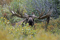 Bull Moose resting in the tundra - (Alaska Moose)