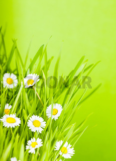 green grass and daisy