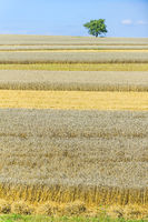 Wheat and barley field
