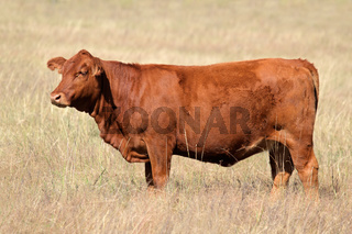 Red angus cow