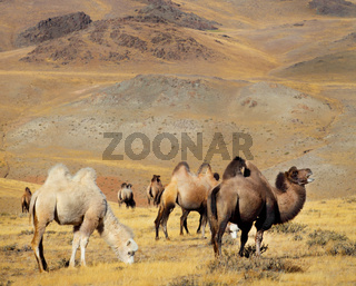 Photo camels against mountain.