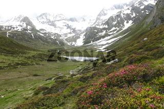 Almrosenblüte in den Ötztaleralpen, Tirol