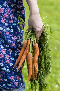 Hand mit geernteten Möhren, Womans hand with harvested carrots