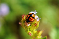A cute ladybird on flow facing downward