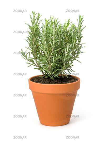Rosemary in a clay pot