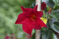 Mandevilla amabilis, Thai Rose, Jasmine
