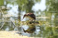Eared grebe standing in its nest in the water