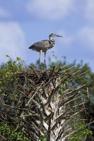Great Blue Heron juvenile bird stands on a palm