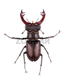 stag-beetle