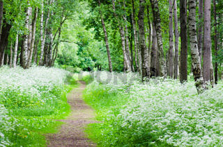 Footpath in a birchwood June day. Summer background