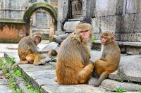 Monkeys family