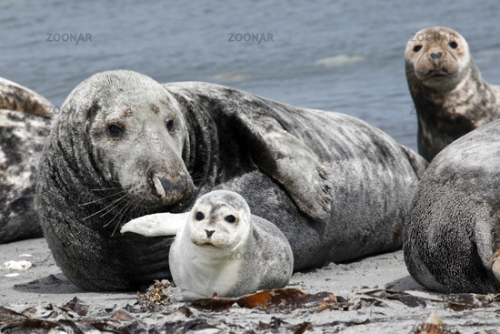 Grey seal and common seal at the beach