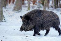 1 BA Wildschwein 14.jpg