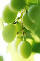 Green grape on the branch