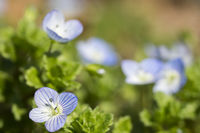 Winter speedwell (veronica persica)