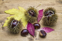 Fruits of the chestnut tree