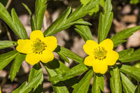 Anemone ranunculoides, Yellow Woodland Anemone