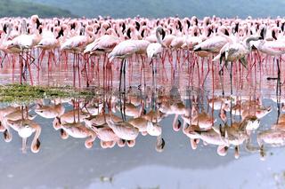 Flamingos spiegeln sich im Bogoria See