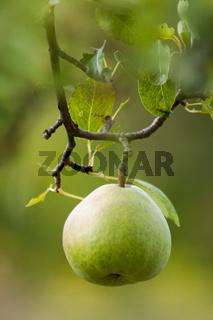 Birne (Pyrus) am Baum