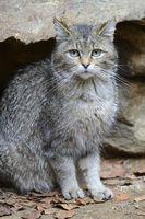 Wildkatze (Felis silvestris), captive,  Bayern, Deutschland