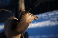 Deer with dark blue background