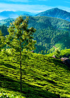 Tea plantation landscape under blue cloudy sky. Munnar, Kerala, India