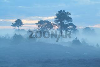 pine trees in dense fog