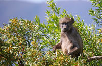 baboon sitting in a tree, Marakele National Park