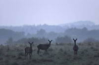 Red Deer hinds in twilight in evening fog