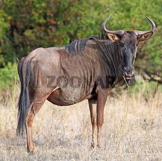 Streifengnu, blue wildebeest, Connochaetes taurinus, Südafrika, Kruger Nationalpark, South Africa