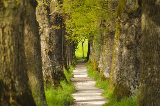 oak tree alley with footpath