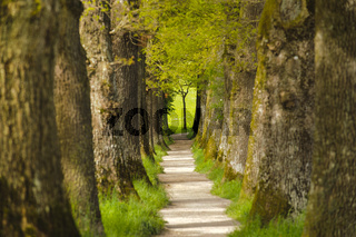 oak tree alley with footpath