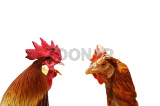 concept of family argue with two isolated birds ( rooster and hen )