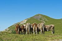 Eine Herde Kühe auf der Alm bei Malbun