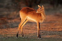 Red lechwe antelope