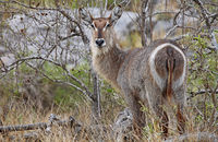 Waterbuck, Kruger NP, South Africa