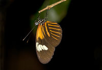 tropical butterfly Heliconius erato