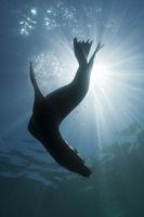 Kalifornischer Seeloewe, Cedros Island