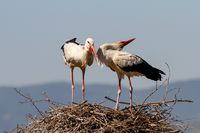A couple of storks standing on their nest
