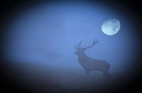 Red Deer stag on a forest glade in front of moon