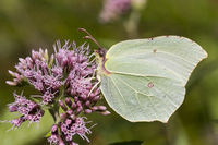 Gonepteryx rhamni, Common Brimstone, Germany