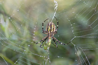 Wasp spider (Argiope bruennichi) with prey