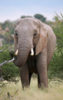 african elephant in Mapungubwe, South africa