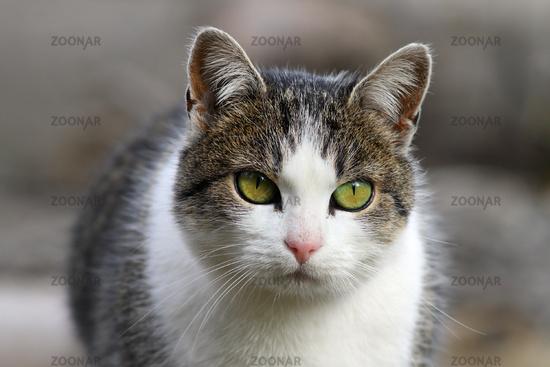 curious domestic cat head closeup with short depth