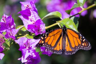 Schmetterling auf Bougainvillea-Blüte