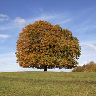 Kastanie im Herbst, (Aesculus hippocastanum), NRW